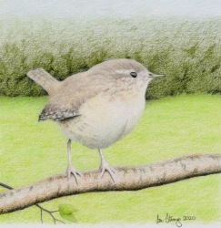 Drawing demo of a wren